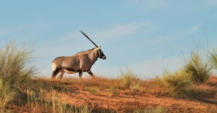 Kalahari Crossing Safari