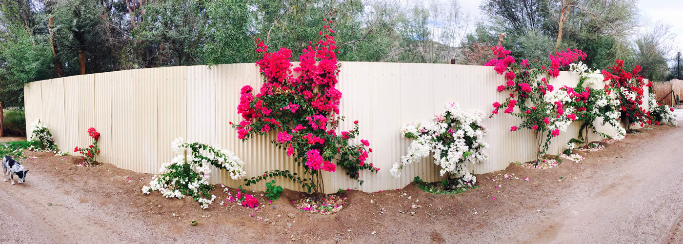 Our Bougainvilleas are blooming