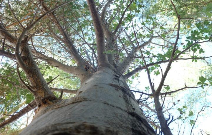 Baobab Trees