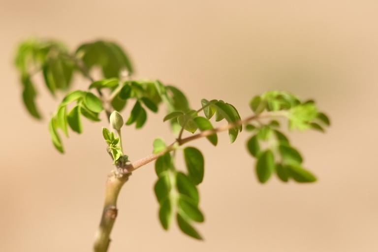 Moring Tree